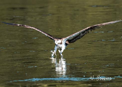 Osprey on the Attack, Umpqua River, Or.