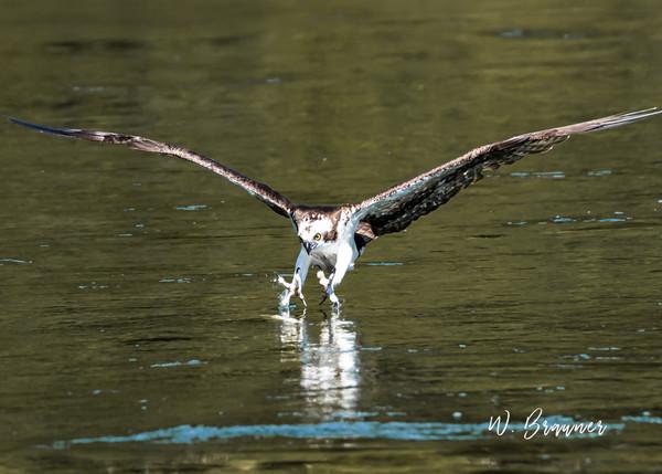 Osprey on the Attack, Umpqua River, OR