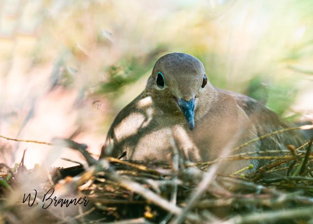 Morning Dove on Her Nest
