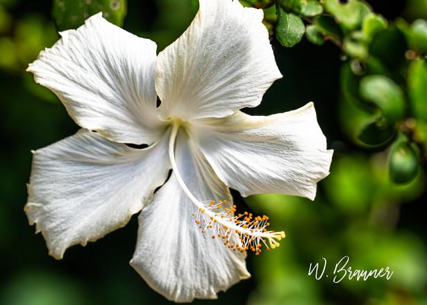 White Flower, Kauai, Hawaii