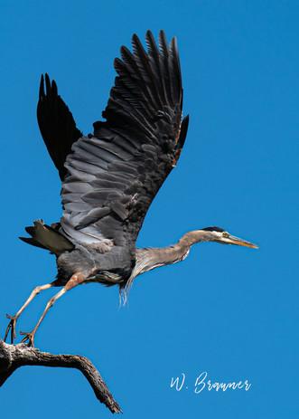 Blue Heron taking off, Umpqua River, OR