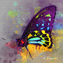 Purple Variegated Butterfly