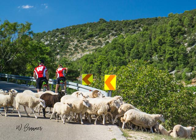 Sheep Crossing, Hvar, Croatia