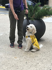 A cream standard poodle puppy sits next to a puppy raiser.