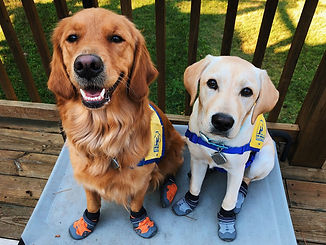 A red golden retriever in a yellow vest sits next to a yellow lab in a yellow vest.