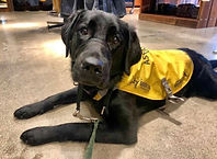 A black lab puppy in a yellow vest lays in a store.
