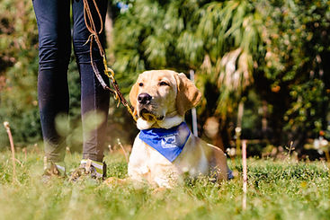 A yellow lab in a blue bandana lays in the grass. His puppy raiser stands next to him.