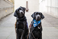 Two black labs sit next to each other.