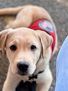 A yellow lab lays in front of the camera in a red vest.