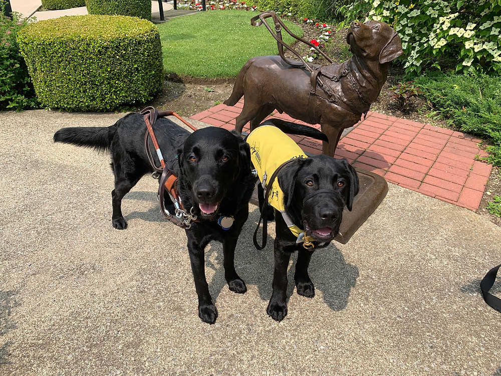 Two black labs stand next to a statue of a guide dog wearing a harness. One of the black labs is wearing a guide dog harness, the other is wearing a yellow training vest.