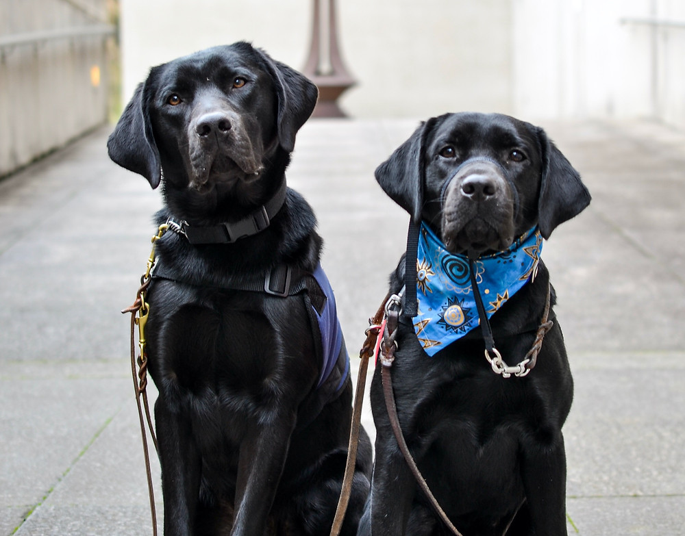 Two black lab puppies sit side by side, posing for the camera. One is wearing a USVSD vest, the other is wearing a blue bandana with a playful print.
