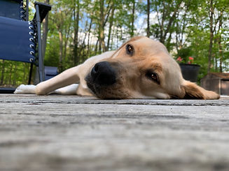 A yellow lab lays outside on a deck.