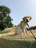 A yellow lab in a yellow vest sits on a bail of hay.