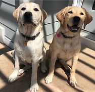 To yellow labs sit next to each other outside.