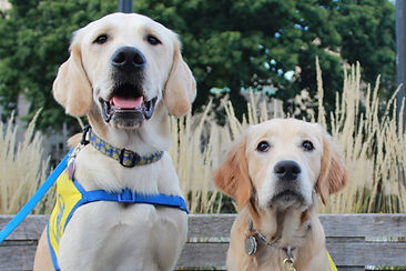 A Yellow lab sits next to a golden retriever on a bench.