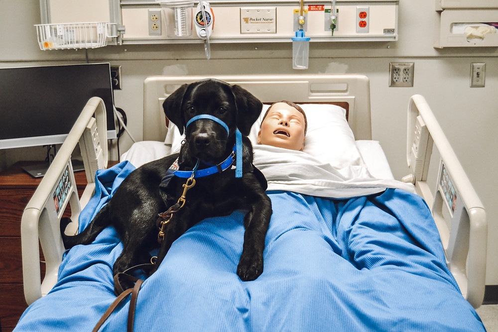 A black lab wearing a gentle leader and leash sits on top of a medical practice doll on a hospital bed.