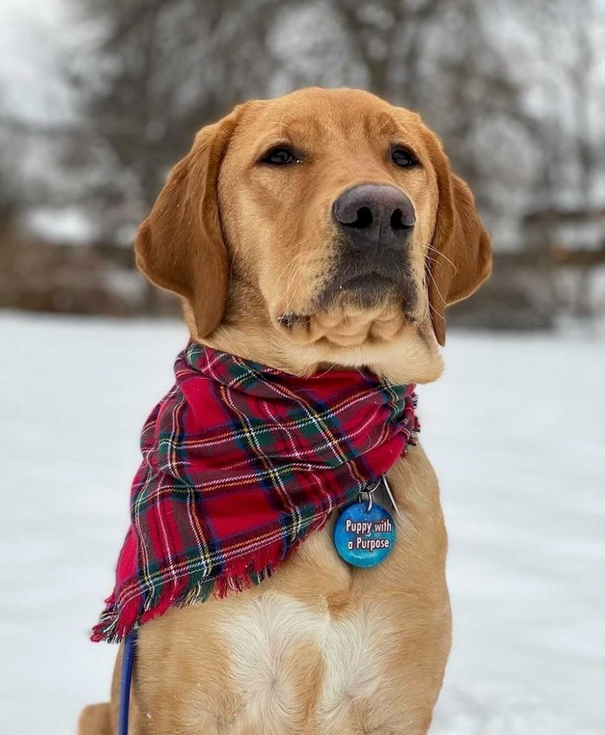 "A yellow labrador sits in the snow wearing a plaid bandana and a blue collar tag with ""Puppy with a Purpose"" on it."