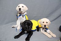A yellow lab puppy sits next to a black lab and yellow lab laying on a gray background. They are all wearing yellow vests.