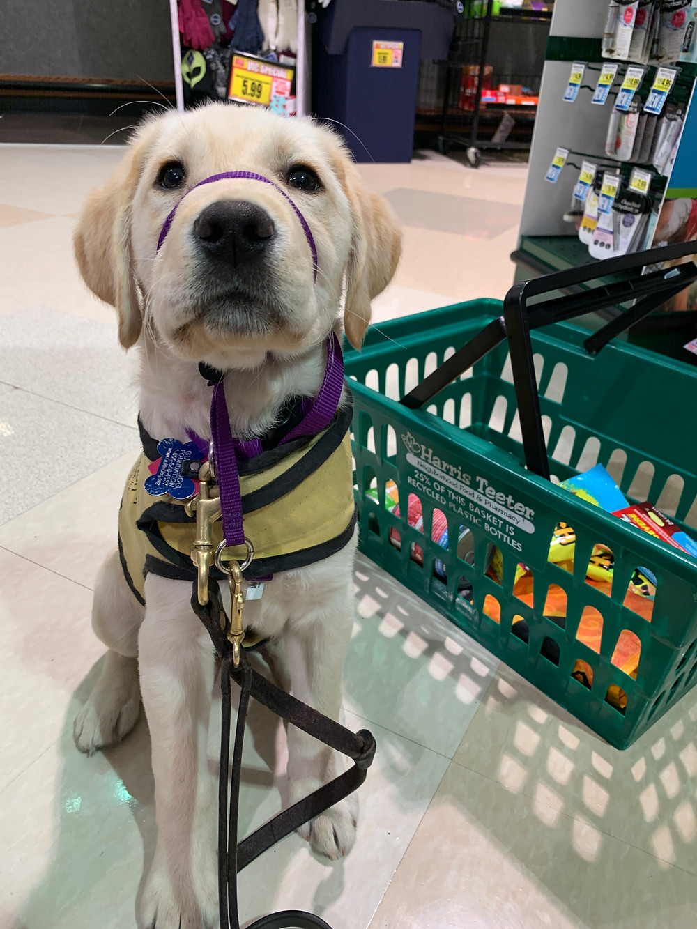 A small yellow lab puppy wearing a yellow training vest and purple gentle leader sits in the grocery store. Next to her is a green shopping basket with groceries in it.