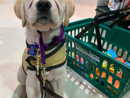 Public Access Laws for Service Dogs in Training
