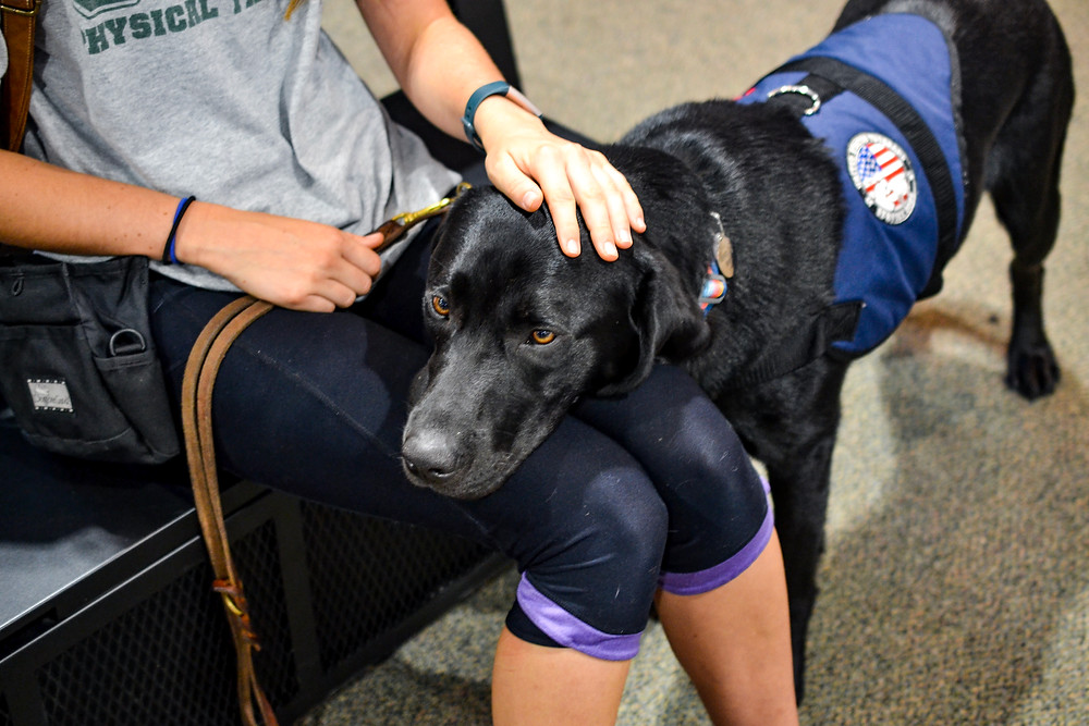 A black lab wearing a United States Veterans Service Dogs vest rests their head on a puppy raiser's lap.