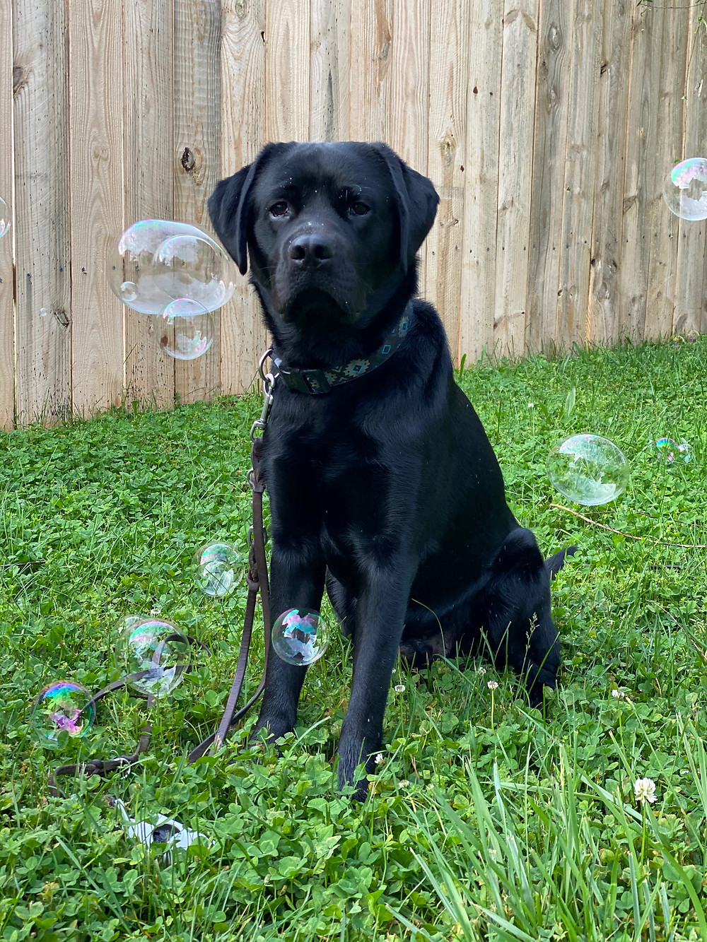A black lab sits in the grass with a fence behind them. There are bubbles floating in the air all around the dog.