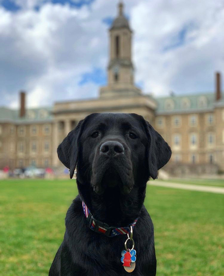A black lab poses for the camera while sitting on a grass mall.