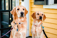 A golden retriever and a yellow lab sit next to each other.