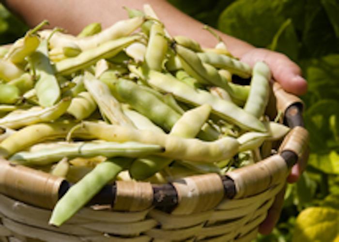 Harvest of Pochas