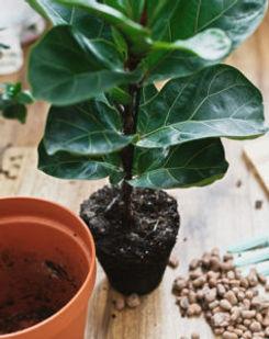 repotting-fiddle-leaf-fig-pebbles-238x30