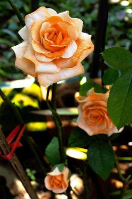 Rose Bush 5_edited.jpg