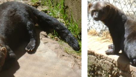 Efectos de enriquecimiento ambiental en el comportamiento de: Eira barbara en Zoológico de la UNSAAC