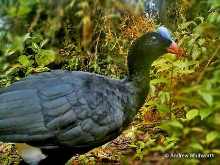 Reconocen nueva especie de crácido endémica en Perú
