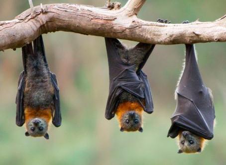 CORONAVIRUS: ¿La culpa es de los murciélagos?
