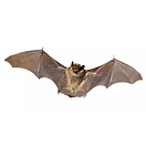 Manejo de Morcegos