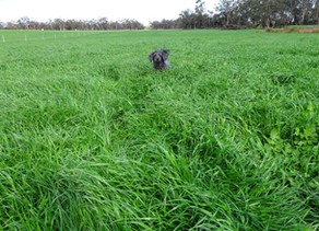 Extra fertiliser, plus rain, plus daylight = lots of pasture