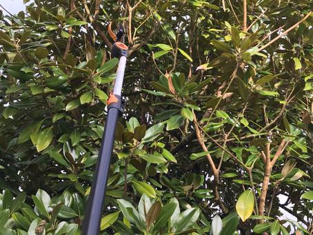Snapshot: Magnolia Pruning and Shaping in Dartford