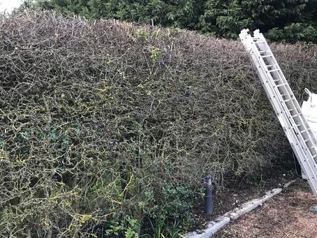 Snapshot: Blackthorn and Privet Hedge Cut in Norton