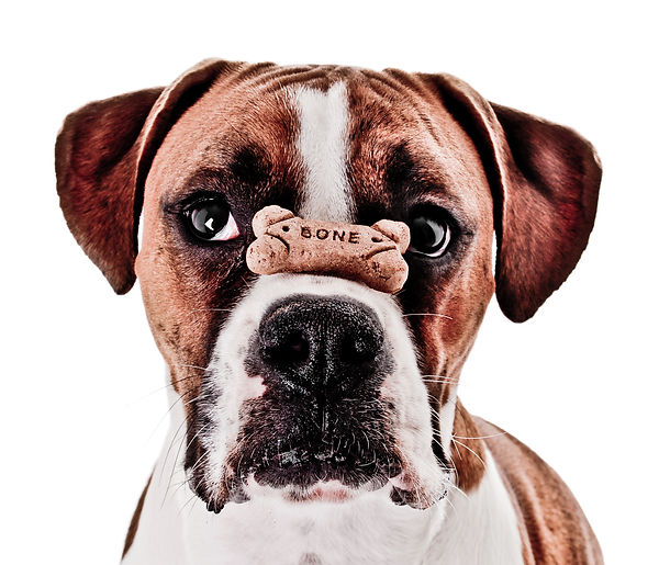 Boxer Dog Balancing Treat on Nose.jpg
