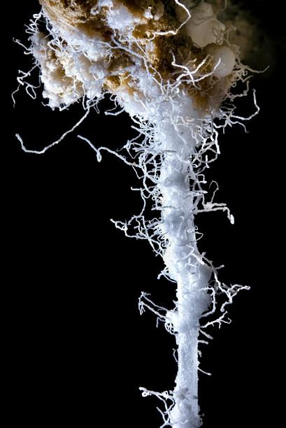 שערות מלח על גבי נטיף מלח במערות הר סדום