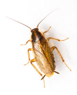 German Cockroach Granville