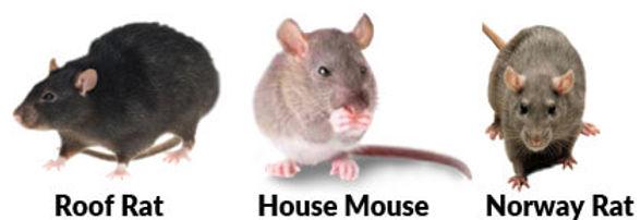 mice & rats sydney