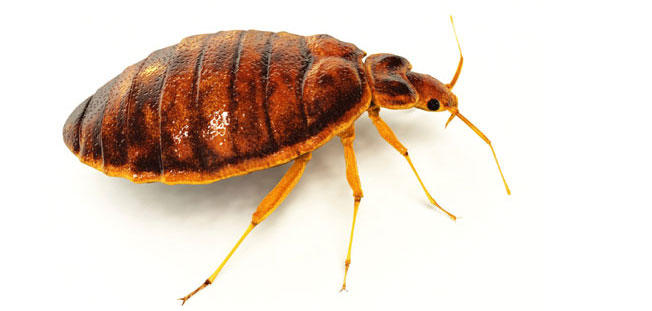bedbug control Potts hill