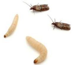 Pantry moth control