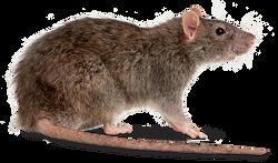 Rat control Granville