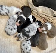 one week old Willow/Diesel pups