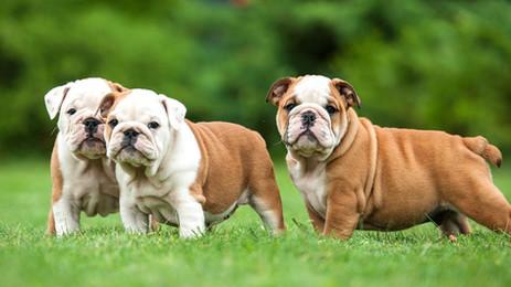 10 Motivos para ter um Bulldog Inglês