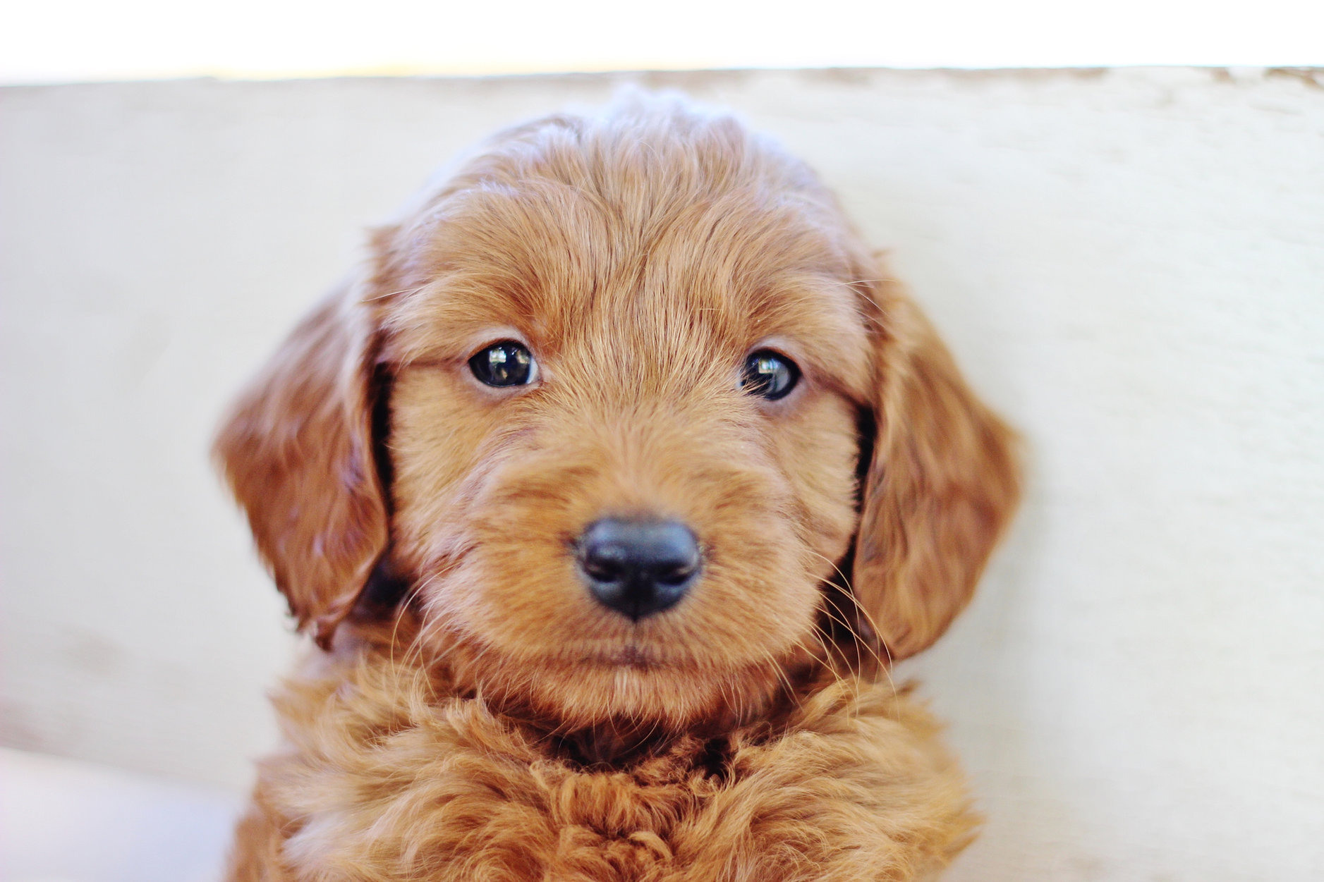 Red Goldendoodle Galle...