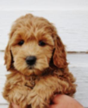 Utah Mini Goldendoodle
