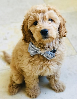 Coppercanyon Doodles Goldendoodles United States